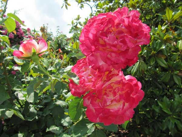 Сезон роз на острове Майнау. Германия. Фото: Екатерина Кравцова/Великая Эпоха
