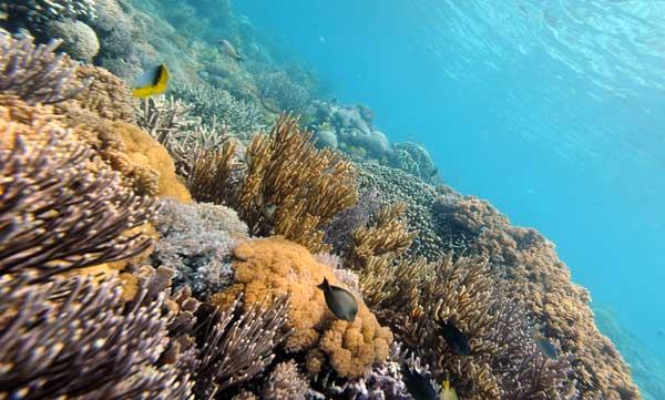 Красочное разнообразие кораллов, растущих у Розового Берега острова Komodo, Индонезия. Фото: ROMEO GACAD/AFP/Getty Images