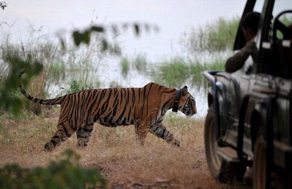 Согласно совместной программе России и Индии по защите уссурийских тигров, эти животные переселились в индийские джунгли. Для постоянного за ними наблюдения на шеи животных надеты специальные кожаные ошейники. Фото: MANAN VATSYAYANA/AFP/Getty Images