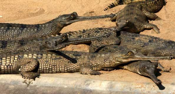 Молодые непальские крокодили греются на солнце.  Национальный парк Непала. Фото: PRAKASH MATHEMA/AFP/Getty Images