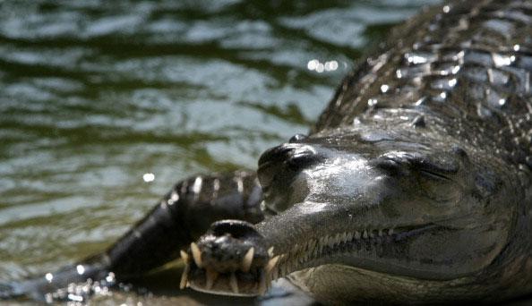 Непальский крокодил.  Национальный парк Непала. Фото: PRAKASH MATHEMA/AFP/Getty Images