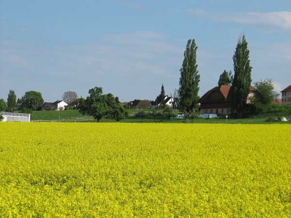 Горчичные поля Швейцарии. Фото:  Николай Богатырев