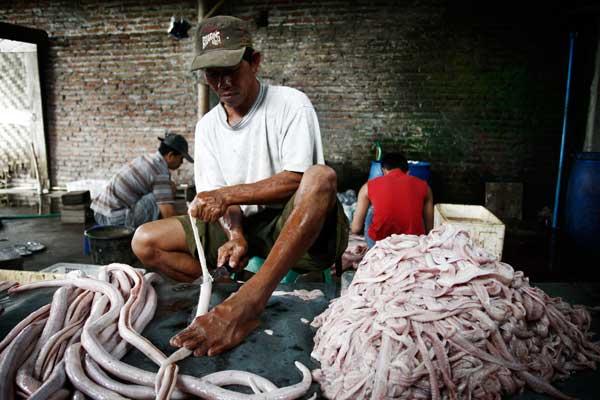 Рабочий снимает змеиную кожу. Фото: Ulet Ifansasti/Getty Images