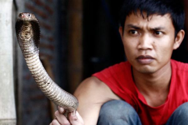 Кобра в руках мясника. Фото: Ulet Ifansasti/Getty Images