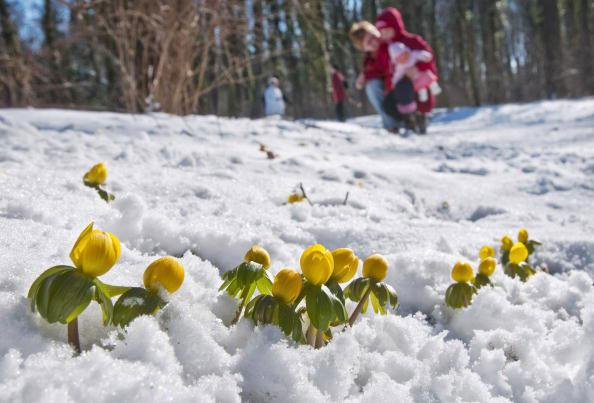 Цветы в снегу. Фото: ТОМАСА KIENZLE/AFP/Getty Images