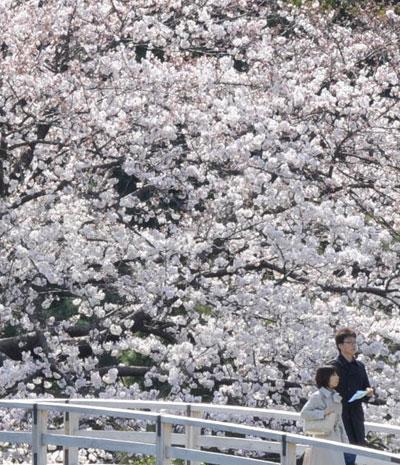 Вишневый «снег» в весенних садах Японии. Фото: ТОРУ YAMANAKA/AFP/Getty Images