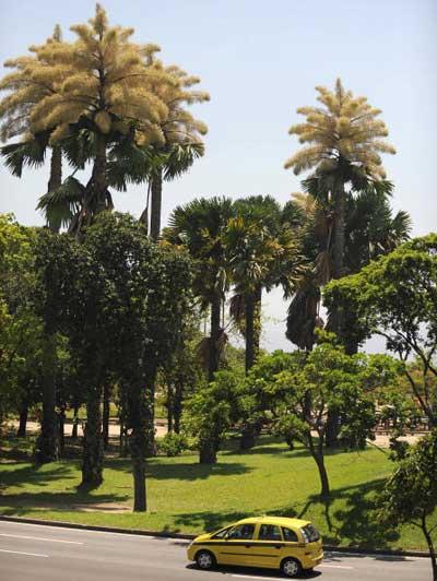 Цветение пальмы «Корифа зонтиковидная» в Парке Атерро де Фламанго в Рио-де-Жанейро, Бразилия. Такие пальмы могут достигать высоты до 25 м и жить более 80 лет, но цветут они в своей жизни только раз и затем умирают. Фото: VANDERLEI ALMEIDA/AFP/Getty Images