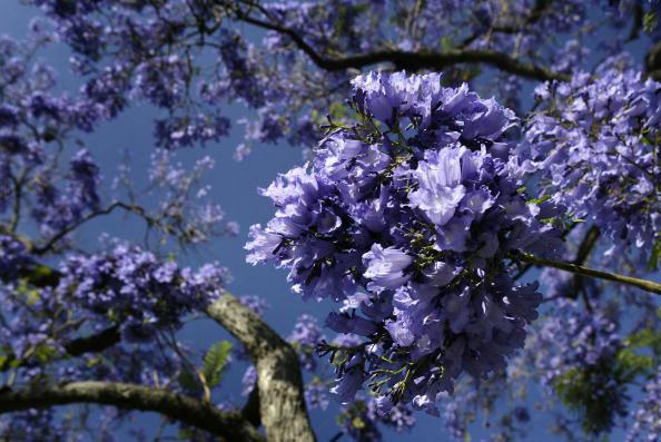 Субтропические деревья «Джакаранды» распространены всюду по большой части южной Калифорнии и создают по весне, благодаря своим фиолетовым цветкам, сюрреалистический пейзаж. Фото: David McNew/Getty Images
