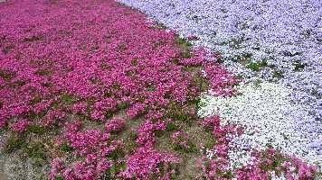 Цветы чикаго черри в японском парке. Фото: RONGJIA. Великая Эпоха (The Epoch Times)