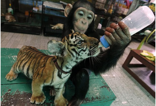 Шимпанзе – кормилица тигренка.Фото с kanzhongguo.com