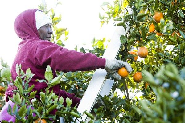 Флорида: урожай цитрусовых под угрозой. Сбор плодов. Фото: Matt Stroshane/Getty Images
