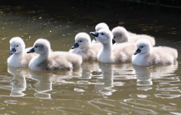 Немые лебеди. Лебединая семья в Дорсете, Англия, Объединенное Королевство. 18 мая. Фотообзор. Фото: Matt Cardy/Getty Images