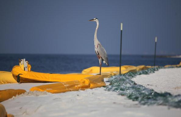 Нефтяное пятно в Мексиканском заливе нанесло огромный ущерб окружающей среде. Фоторепортаж  Фото: Win McNamee/Getty Images