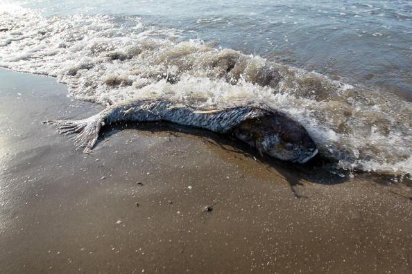 Утечка нефти в Мексиканском заливе из поврежденной буровой скважины продолжается. Гибнут животные, птицы, рыбы и обитатели подводного мира залива. Фото: Joe Raedle/Getty Images