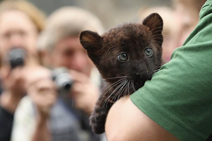 В Берлинском зоопарке родились детеныши  пантер. Фото: Sean Gallup/Getty Images