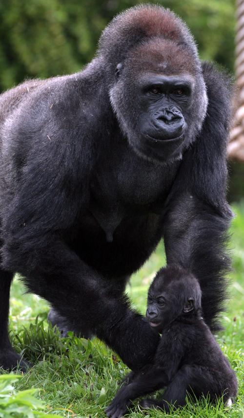 Детёныш гориллы в Бристольском зоопарке Англии вышел на природу. Фото: Matt Cardy/Getty Images