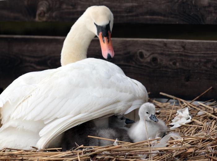 Лебединое семейство в Abbotsbury. Фото: Matt Cardy/Getty Images