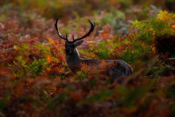 Олени в Ричмонд-парке. Фото: Dan Istitene/Getty Images