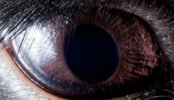 Глаз черного кролика. Фото с сайта animalworld.com.ua