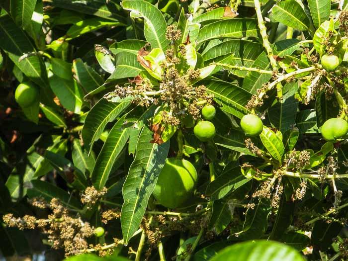 Как растёт манго. Первые плоды. Фото: Татьяна Виноградова/Великая Эпоха (The Epoch Times)