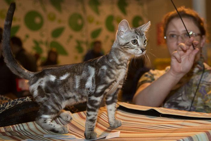 Международная выставка кошек прошла в Рязани. Фото: Сергей Лучезарный/Великая Эпоха (The Epoch Times)