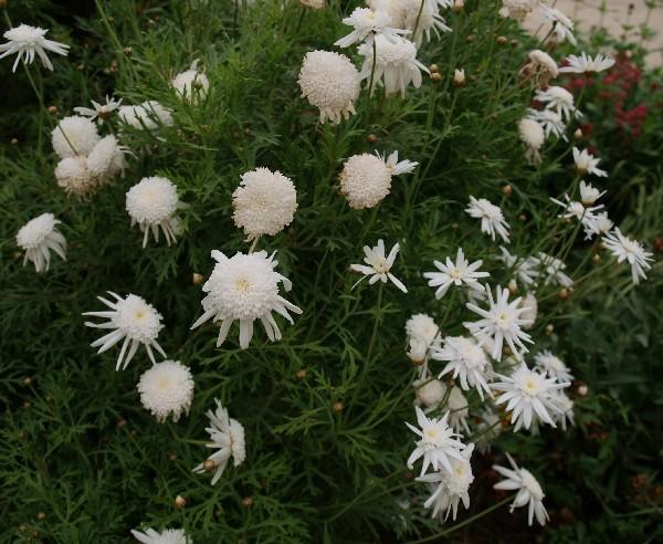 Белая хризантема. Фото: Хава Тор/Великая Эпоха