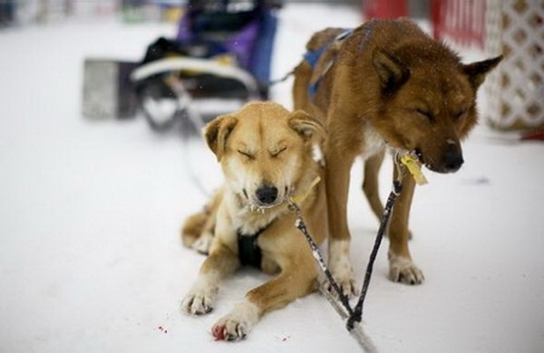 Гонки на собачьих упряжках – из прошлого в настоящее. Фото: stfond.ru