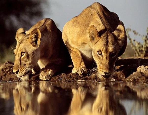 Сильная жара в долине Рифт привела двух львиц к воде на закате. Фото: GREG DU TOIT/