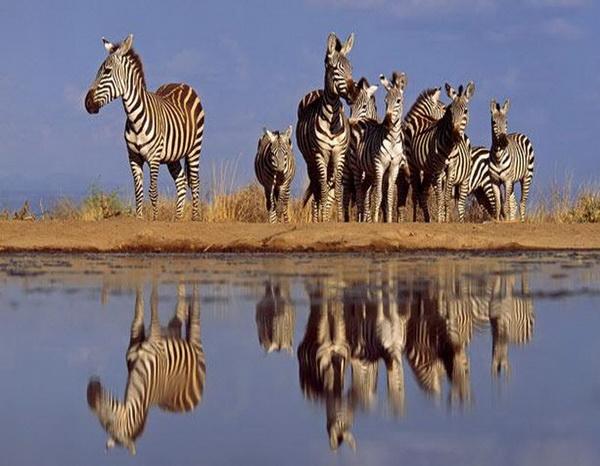 Грег часами сидел без движения в воде, чтобы снять, к примеру, этих зебр, осторожно приближающихся к водоему. Фото: GREG DU TOIT/ BARCROFT