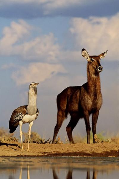 Африканская большая дрофа стоит рядом с самкой водяного козла. Фото: GREG DU TOIT/ BARCROFT