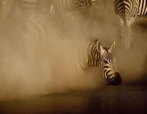 Зебра появляется из клуба пыли от стада зебр, приближающихся к воде. Фото: GREG DU TOIT/ BARCROFT