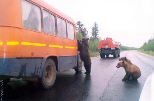 Мишки возвращаются или ответный удар. Фото: stfond.ru