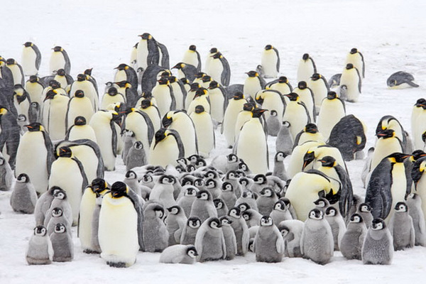 Птенцы императорского пингвина на острове Сноу Хилл в море Уэдделла, у берегов Западной Антарктиды, так похожи на героев мультфильма «Делай ноги». Фото с сайта stevebloom.com