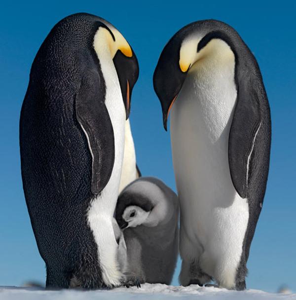 Императорские пингвины с птенцом. Фото с сайта stevebloom.com