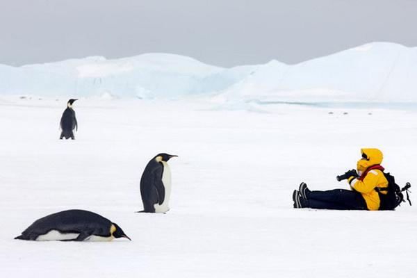 Большая удача - наблюдать за императорскими пингвинами в их естественной среде. Фото с сайта stevebloom.com