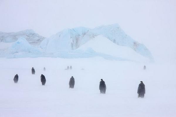 Императорские пингвины и их птенцы в снежной буре. Фото с сайта stevebloom.com