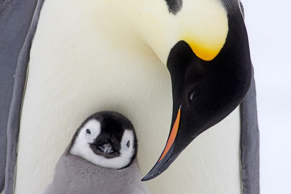 Императорский пингвин с птенцом. Фото с сайта stevebloom.com