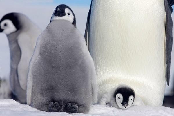 Императорские пингвины и их птенцы. Фото с сайта stevebloom.com
