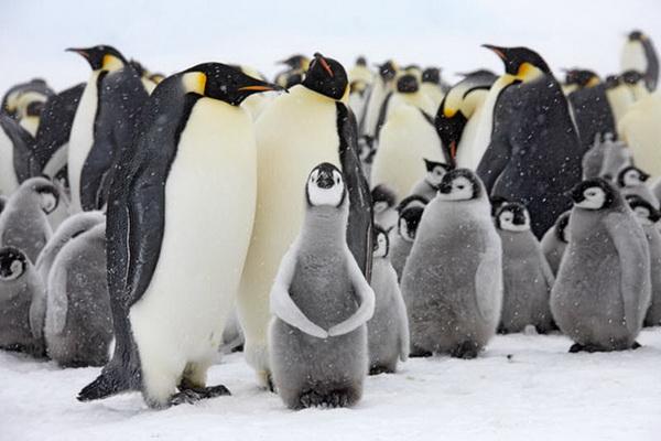Императорские пингвины разводят свои колонии на твердом льду. Фото с сайта stevebloom.com