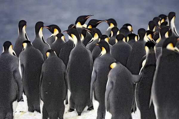 Императорские пингвины собрались на льду перед погружением в море. Фото с сайта stevebloom.com
