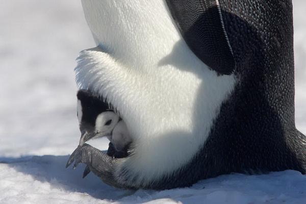 Птенец выглядывает из своего теплого «гнезда». Фото с сайта stevebloom.com