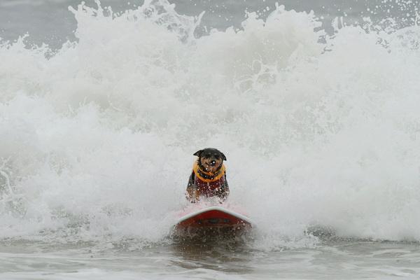 Собака-серфингист по кличке Эбби плывет на доске к пляжу на ежегодном соревновании по серфингу среди собак в Хантингтон Бич 19 сентября. Фото: MARK RALSTON/AFP/Getty Images