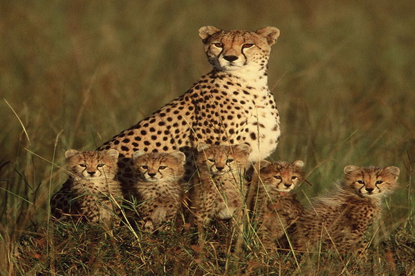 Гепард с пятью детенышами. Фото: Paul Goldstein/Exodus Travels