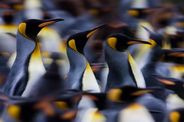 Королевские пингвины. Фото: Paul Goldstein/Exodus Travels