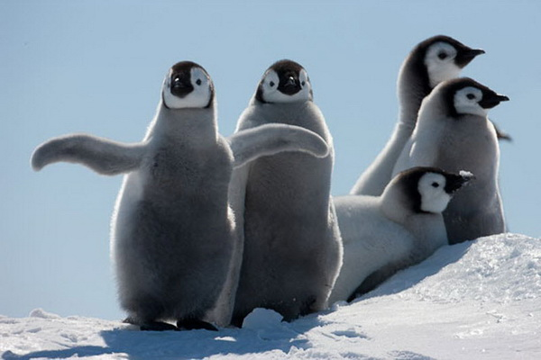 Пингвинята. Фото: Paul Goldstein/Exodus Travels