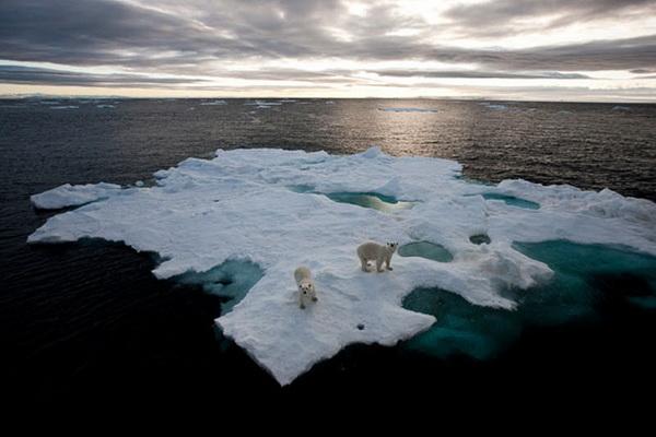 Белые медведи на ледяном острове. Фото: Paul Goldstein/Exodus Travels