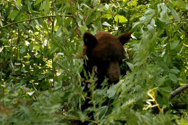 Черный медведь все еще живет в горах Сьерра. Самцы черных медведей куда меньше гризли и редко достигают 180 кг. Самки весят до 112,5 кг. Несмотря на свое название, черные медведи могут быть бурыми, светло-бурыми или вообще светлыми. Фото с сайта: bigpicture.ru