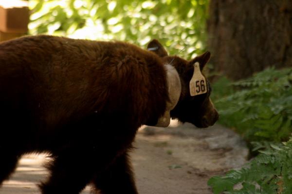 Лучше затаиться и не шуметь, когда черный медведь переходит дорогу в национальном парке Секвойя. Фото сделано в августе 2007 года. Фото с сайта: bigpicture.ru