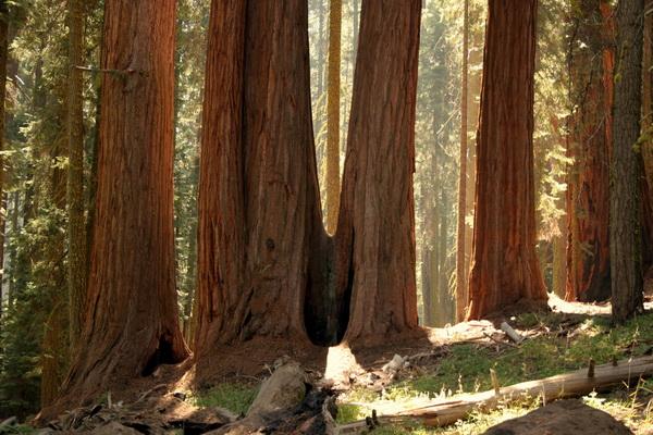 Огромные секвойи в августе 2007 года. Из растущих деревьев 15 более 110 м в высоту. 47 деревьев более 105 м в высоту. Фото с сайта: bigpicture.ru