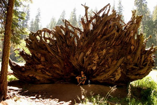 Корни упавшего дерева секвойи просто невероятны. Что удивительно для дерева такого размера, его корни полые. Фото сделано в августе 2007 года. Фото с сайта: bigpicture.ru